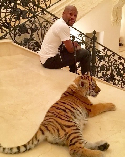 Флойду Мэйвезеру младшему в Москве подарили тигрицу (1)