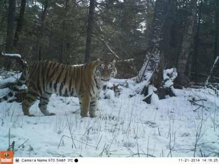 Флойд Мэйвезер младший взял под опеку амурскую тигрицу (2)
